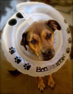 boobooloon-inflatable-dog-collar.jpg
